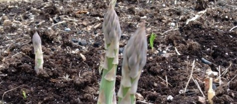 Asparagus Tales…Expressions of Commitment